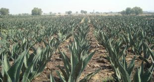 maguey2